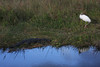 Alligator and wood stork in the Everglades.