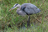 Heron wading in the Everglades.